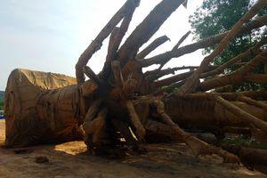 Xôn xao vụ việc ' vận chuyển 3 cây cổ thụ khổng lồ' trên QL1A