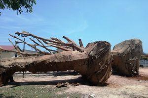 3 cây gỗ 'khủng' bị giữ ở Huế: Nhờ người dân chăm, kiểm lâm thay nhau túc trực