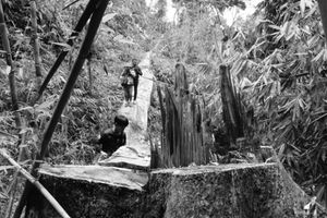 Quảng Nam: 'Xẻ thịt' rừng già, bao giờ thì lâm tặc 'rưng rưng nước mắt'?