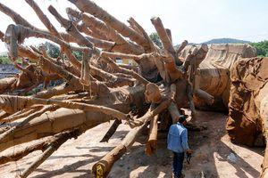 Chủ 3 cây 'khủng' bị giữ tại Huế vẫn chưa đến làm việc