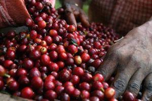Giá nông sản hôm nay 4/4: Giá cà phê vượt lên mốc 37.000 đồng/kg, giá tiêu đứng yên