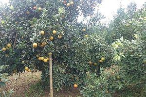 Diện tích trồng cam bưởi tăng mạnh, nguy cơ dư thừa rất cao