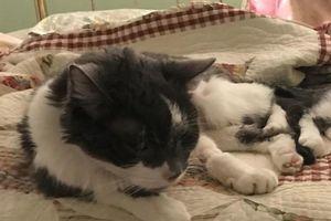 Chi 430 triệu để ghép thận cho mèo già sắp chết