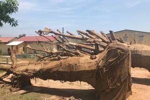 Xác định nguồn gốc 1 cây 'quái thú' được bỏ lại ven đường khi bị CSGT Huế xử phạt