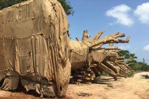 Phó Thủ tướng yêu cầu làm rõ vụ chở cây 'quái thú'