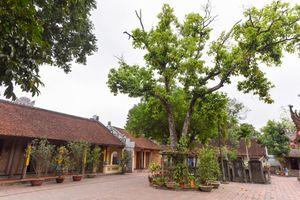 Chùa Tây Phương phủ nhận liên quan đến cây đa khổng lồ trên quốc lộ