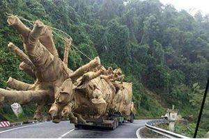 3 cây đa sộp 'quái thú' lọt cửa Đắk Lắk thế nào?