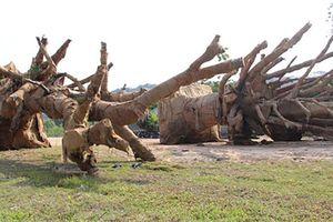 Có dấu hiệu lập hồ sơ khống nguồn gốc cây 'khủng' ở Đắk Lắk