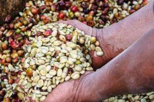 Giá nông sản hôm nay 7/4: Giá cà phê giảm mạnh 600 đồng, giá tiêu tăng nhẹ