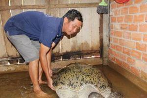 Bến Tre: Bắt được rùa biển 'khủng' 200 kg, thương lái 'xuống tiền' trả 150 triệu không bán