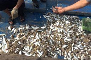 Quảng Trị: Đã có kết quả kiểm nghiệm mẫu cá chết dạt vào bờ biển