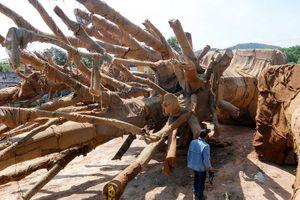 Bí ẩn điểm đến của 3 cây 'khủng' bị giữ tại Huế?