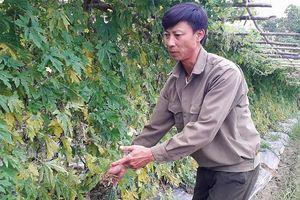Thanh Hóa: Nông dân khốn đốn vì bị kẻ gian tàn phá hàng ngàn m2 hoa màu