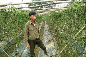 Thanh Hóa: Gần 10 sào rau bị kẻ gian phá hoại