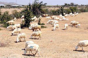 Mùa khát vùng hoang mạc cùng nước mắt những người chăn cừu du mục