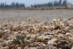 Hà Tĩnh: Đang xác định nguyên nhân sò chết trắng đầm, bãi