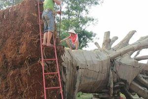Xử phạt chủ sở hữu 3 cây cổ thụ 'khủng' bị CSGT bắt giữ