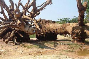 Kiểm lâm Huế trả lại cây 'khủng' thứ 3 cho chủ cây