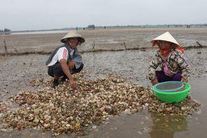 Cẩm Xuyên, Hà Tĩnh: Nghêu, sò chết trắng đồng trong thời kỳ thu hoạch