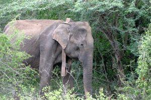 Bi kịch voi Myanmar bị tận diệt để lấy da