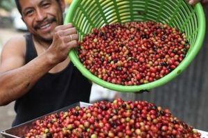 Giá nông sản hôm nay13/4: Giá cà phê ngừng giảm, tăng nhẹ, giá tiêu đi ngang
