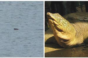 Phát hiện thêm một cá thể rùa Hoàn Kiếm ngoài tự nhiên ở Hà Nội