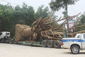 Vì sao 3 cây cổ thụ 'khủng' vẫn chưa thể rời Thừa Thiên - Huế?