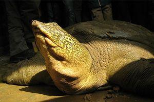 Phát hiện cá thể rùa Hoàn Kiếm trong vùng Hà Nội