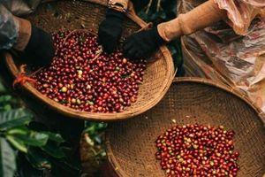 Giá nông sản hôm nay 18/4: Sau vụ cà phê nhuộm pin, giá bất ngờ tăng 300 đ/kg, giá tiêu chững lại