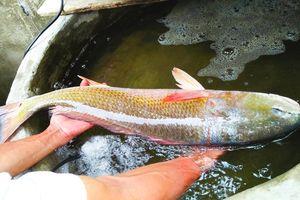 Quảng Bình: Ngư dân bắt được cá lạ nghi là sủ vàng