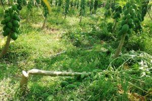 Kẻ xấu lại tàn nhẫn chém đứt lìa 100 cây đu đủ sắp thu sai trĩu quả