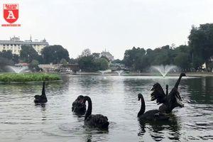 Đàn thiên nga ở hồ Thiền Quang vẫn có nguy cơ bị thương do lưỡi câu