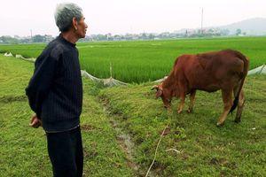 Oái oăm đóng phí chăn thả trâu, bò 100.000 đồng/con/năm