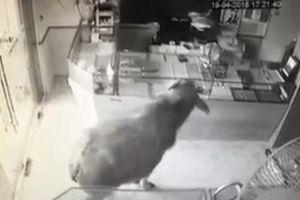 Clip: Trâu 'điên' lao thẳng vào tiệm vàng ở Thái Nguyên, nhiều người hoảng sợ