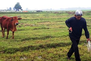 Trâu, bò gặm cỏ phải nộp phí: Thanh Hóa yêu cầu HTX trả lại cho dân
