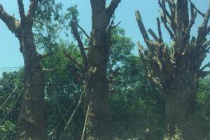 Diễn biến bất ngờ vụ 3 cây 'quái thú' tại Huế