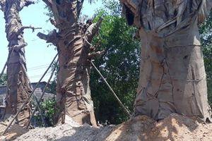 3 cây cổ thụ 'khủng' được trồng ven QL1 sau gần 1 tháng bị CSGT tạm giữ