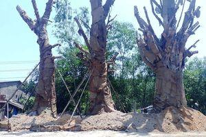 Sau nhiều tuần phơi nắng, 3 cây cổ thụ khủng tạm trồng ven Quốc lộ