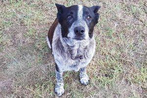 Cảm động chú chó bị mù và điếc quyết bảo vệ cô chủ 3 tuổi