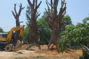 3 cây 'khủng' bị giữ tại Huế, hé lộ đích đến một khu đô thị 'siêu khủng'