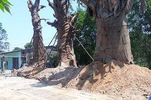 Thừa Thiên – Huế: Lập biên bản hiện trạng trồng cây 'quái thú' bên quốc lộ