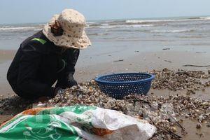 Xuất hiện bãi sò huyết giống lớn ở Cà Mau, người dân ào ạt khai thác