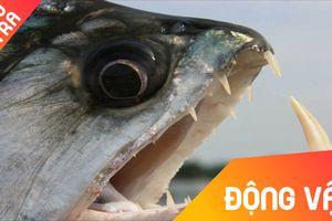Khi cá sấu con trở thành con mồi của đàn cá piranha
