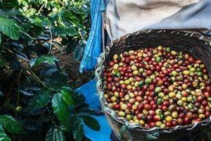 Giá nông sản hôm nay 25/4: Giá cà phê tăng đều đều, nông dân phấn khởi, giá tiêu không đổi