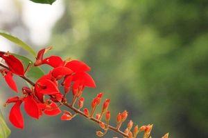 Hà Nội đẹp ngỡ ngàng khi hoa osaka thắp lửa gọi hè về