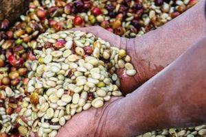 Giá nông sản hôm nay 26/4: Giá cà phê khó có thể bứt phá, giá tiêu vẫn ổn định