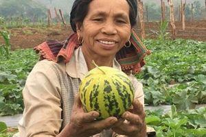 Có của ăn của để nhờ trồng dưa vàng trên đất ruộng