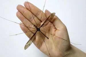 Tận thấy 'quái vật' muỗi to nhất thế giới