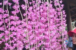 Mê mẩn phong lan ba miền cực hiếm, cực lạ hội tụ tại Huế