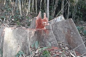 'Thảm sát' ươi rừng: Cam kết xử nghiêm sai phạm